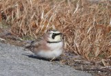Horned Lark - Hamlin - © Eunice Thein - Dec 19, 2016